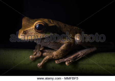 Portrait of a Masked Treefrog, Smilisca phaeota, resting on a branch. - Stock Photo