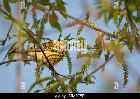The colorful Cape May Warbler breeds from southwestern Northwest Territories, Manitoba, Ontario, and Quebec south to North Dakota, Michigan, northern  - Stock Photo
