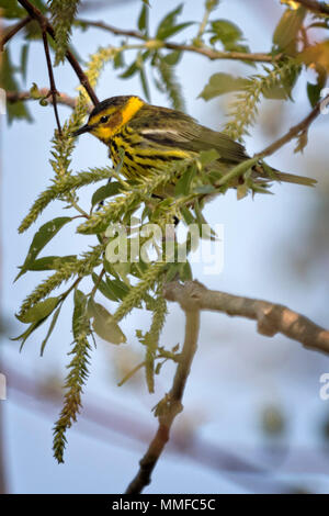 The colorful Cape May Warbler breeds from southwestern Northwest Territories, Manitoba, Ontario, and Quebec south to North Dakota and Michigan. - Stock Photo