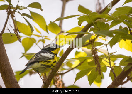 A colorful male Magnolia Warbler bird seen at Magee Marsh in Northwest Ohio during spring. - Stock Photo