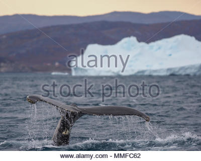Humpback whale tail in front of an iceberg on the coast. - Stock Photo