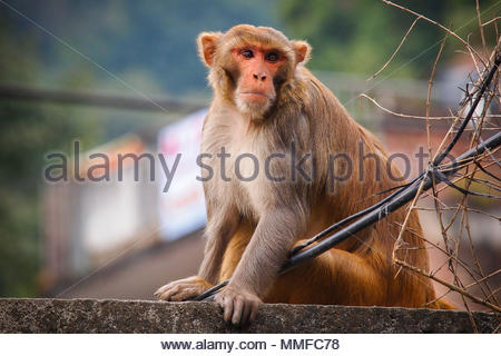 Rhesus macaque ,Macaca mulatta, also called the Nazuri monkey sitting on the roof of the building. - Stock Photo