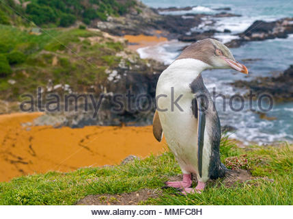 Yellow-eyed Penguin , Megadyptes antipodes, or Hoiho standing on cliffs. - Stock Photo