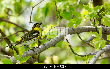 A Yellow Rump Warbler bird seen at Magee Marsh in Northwest Ohio during the spring migration. - Stock Photo