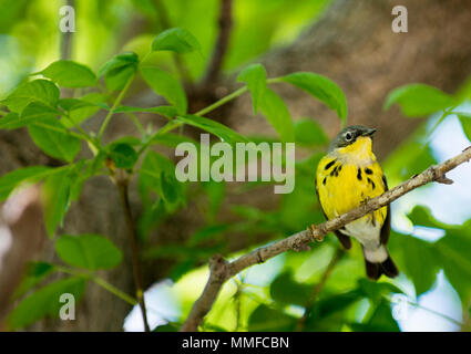 A colorful male Magnolia Warbler bird seen at Magee Marsh in Northwest Ohio during the spring migration. - Stock Photo