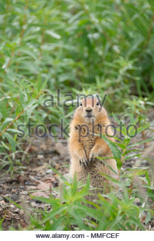 Arctic Ground Squirrel, Spermophilus Parryii, in Denali National Park. - Stock Photo