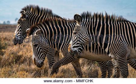 A group of Zebras in the savanna of Namunyak Wildlife Conservancy in Kenya. - Stock Photo