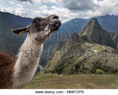 A llama in front of the ruins of Machu Picchu. - Stock Photo
