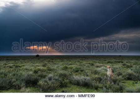 A male cheetah, Acinonyx jubatus, at sunset in Serengeti National Park. - Stock Photo