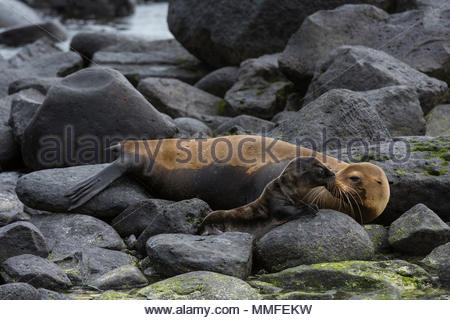 A Galapagos sea lion, Zalophus californianus wollebaeki, with its pup. - Stock Photo