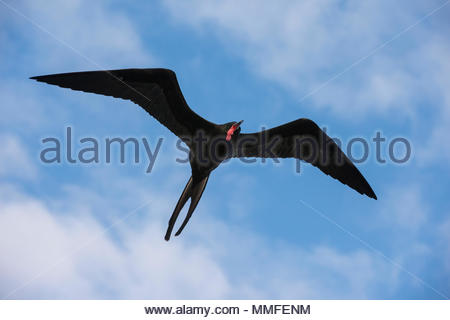 A great frigate bird, Fregata minor ridgwayi, in flight. - Stock Photo