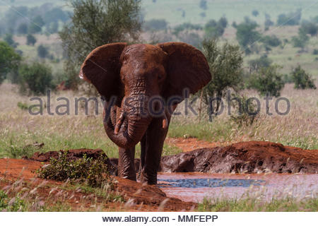 An African elephant, Loxodonta africana, taking a mud bath. - Stock Photo