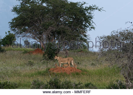 A lioness, Panthera leo, and its four cubs on a termite mound. - Stock Photo