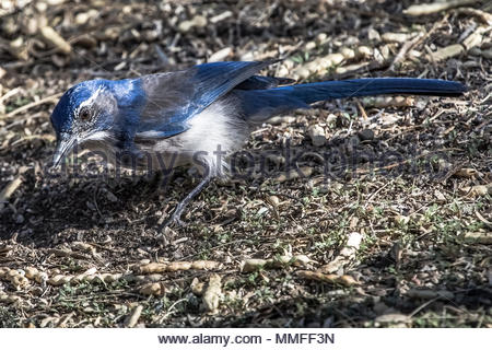 A California Scrub-Jay, Aphelocoma californica, serches for food on the ground. - Stock Photo