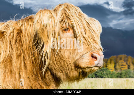 The Highland Cow or coo as it is known is a large hairy and somewhat cute animal. Quite docile on a warmish day! - Stock Photo