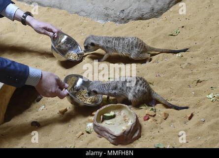 Olomouc, Czech Republic. 11th May, 2018. A pair of meerkat or suricate (Suricata suricatta) is seen in the new Kalahari pavilion in the Olomouc Zoo, Czech Republic, on May 11, 2018. Credit: Ludek Perina/CTK Photo/Alamy Live News - Stock Photo