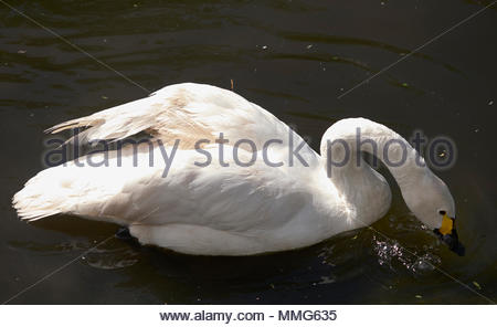bewicks swan cygnus columbianus - Stock Photo