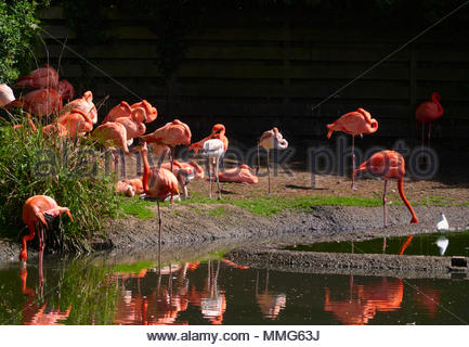 A flock of Caribbean flamingos phoenicopterus ruber by water in the wetlands centre nature reserve in Llanelli South Wales uk - Stock Photo