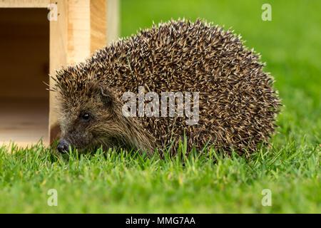 Hedgehog, wild, native hedgehog in the garden on green lawn beside a hedgehog house.  Erinaceus europaeus.  Landscape - Stock Photo