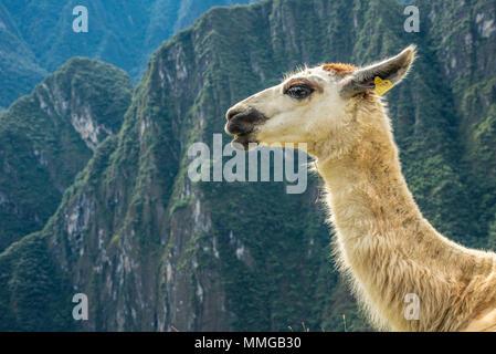 Llama in Machu Picchu with beautiful landscape behind - Stock Photo