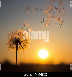 Silhouette of dandelion against the backdrop of the setting sun. Macro photography. Sunset. - Stock Photo