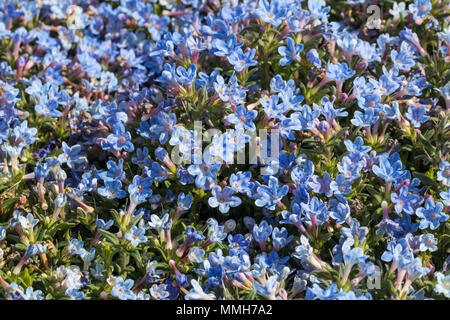 Close up of Lithodora diffusa 'Heavenly Blue' flowering - Stock Photo