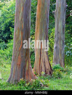 Rainbow eucalyptus on the road to Hana, Maui, Hawaii. - Stock Photo