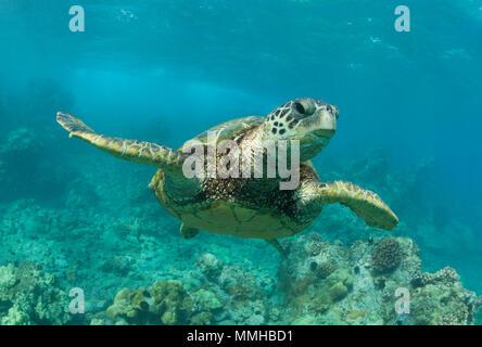 Green sea turtle swims off the coast of Maui. - Stock Photo