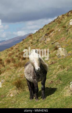 Wild Eriskay ponies horses Scotland Europe Rare Breed landscape beautiful - Stock Photo