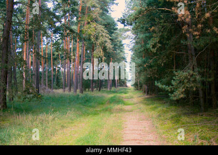 Central European forests. Old natural pine forest and forest road in Germany, Bavaria. Location for Hiking - Stock Photo