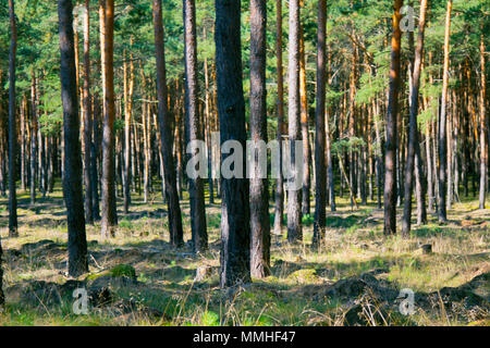 Central European forests. Old natural pine forest in Germany. - Stock Photo