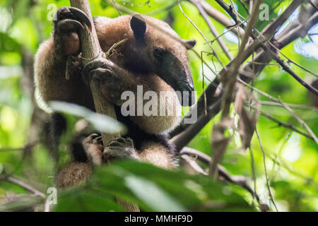 Northern Tamandua, Tamandua mexicana, Myrmecophagidae, Corcovado National Park, Costa Rica, Centroamerica - Stock Photo