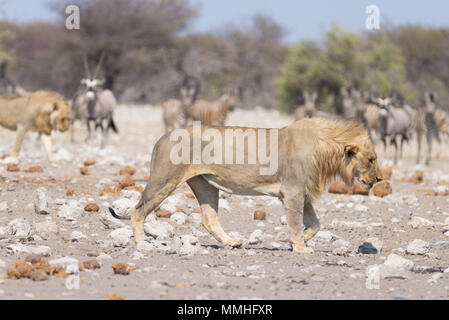 Lion and Zebras running away, defocused in the background. Wildlife safari in the Etosha National Park, Namibia, Africa. - Stock Photo