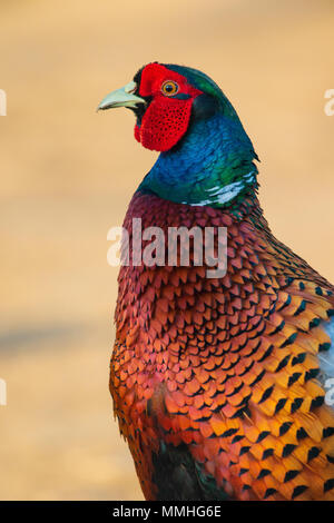 headshot of a male Ring-necked Pheasant (Phasianus colchicus) - Stock Photo
