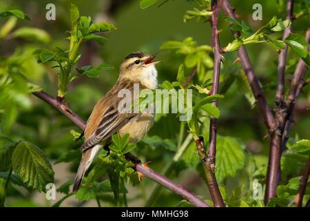 Sedge Warbler (Acrocephalus schoenobaenus) singing in a bramble patch - Stock Photo