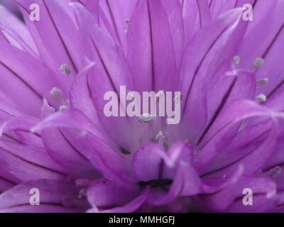 Flower of chives, Allium schoenoprasum, macro close up of chive - Stock Photo