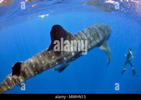 Diver observes a whale shark, Rhincodon typus, Cancun, Yucatan, Mexico, Caribbean Sea - Stock Photo