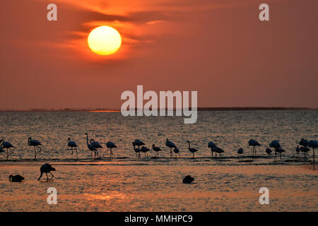 A flock of greater flamingoes, Phoenicopterus roseus, at sunset on the lagoon of Walvis Bay, Namibia - Stock Photo