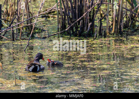 Common Gallinule with chicks at Shoveler's Pond at Anahuac National Wildlife Refuge in Southeastern Texas. - Stock Photo