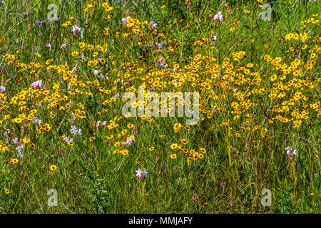 Plains Coreopsis (Tickseed) Coreopsis at Anahuac National Wildlife Refuge in Southeastern Texas. - Stock Photo