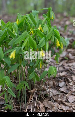 Uvularia grandiflora at Eloise Butler Wildflower Garden in Minneapolis, Minnesota, USA. - Stock Photo