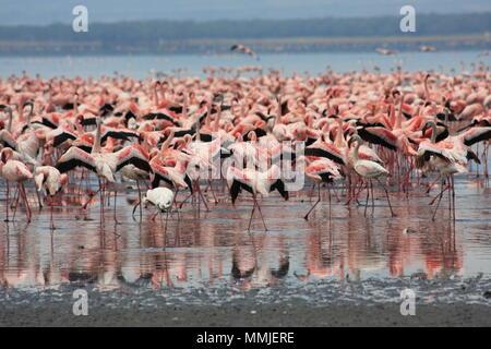 Pink Flamingos at Lake Nakuru - Stock Photo