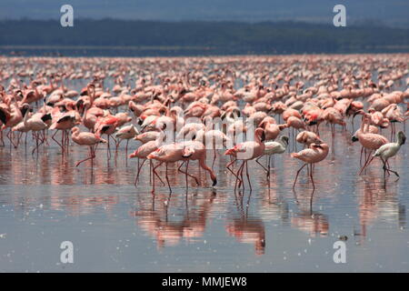 Pink Flamingos at Lake Nakuru - Stock Photo