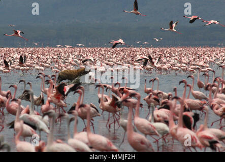 Hyena taking a Pink Flamingo from the flock at Lake Nakuru - Stock Photo