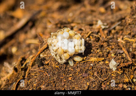 Small nest of the Common Wasp (Vespula vulgaris) showing live larvae - Stock Photo