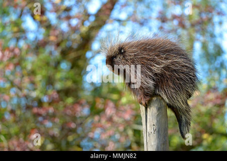 The North American porcupine (Erethizon dorsatum), also known as the Canadian porcupine or common porcupine, perched on stake - Stock Photo