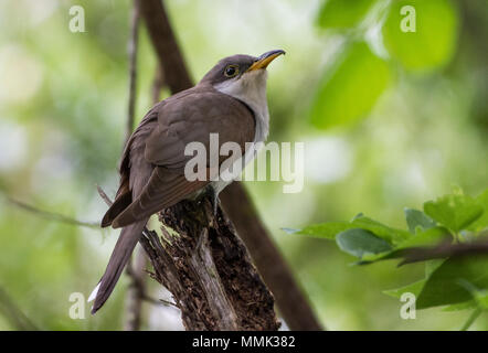 A Yellow-billed Cuckoo (Coccyzus americanus) perched on a branch. High Island, Texas, USA. - Stock Photo