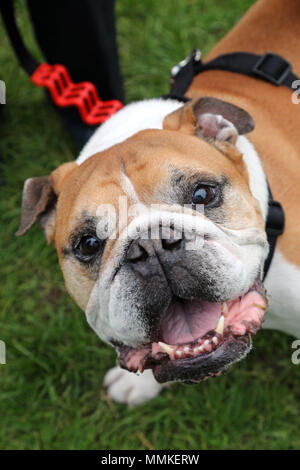 London, UK. 12th May 2018. Boycey the Bulldog at the All Dogs Matter Great Hampstead Bark Off, Hampstead Heat, London. All Dogs Matter is a charity dedicated to helping and re-homing dogs see www.alldogsmatter.co.uk for more information. Credit: Paul Brown/Alamy Live News - Stock Photo