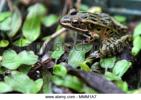 A Northern Leopard Frog (Rana Pipiens)in a small pond in Ontario, Canada. - Stock Photo