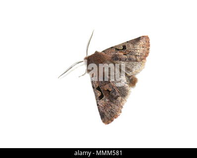 Hebrew Character moth Orthosia gothica showing hind wings on white background - Stock Photo